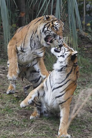 mammalian: Sumatran tiger