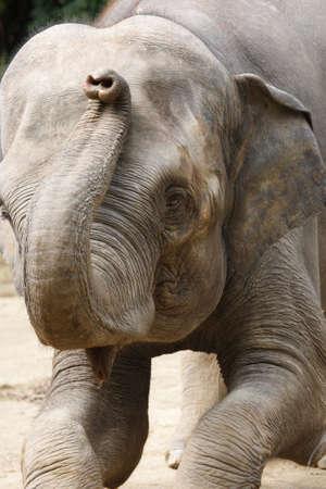 mammalian: The Indian elephant