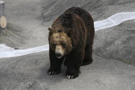 mammalian: Brown bear Stock Photo