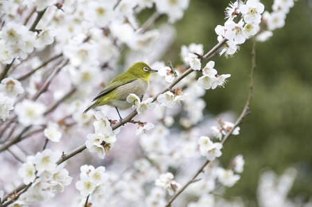 plum grove: Plum and Japanese whiteeye