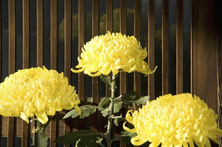 lattice window: Chrysanthemum