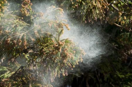 pollen: Cedar pollen