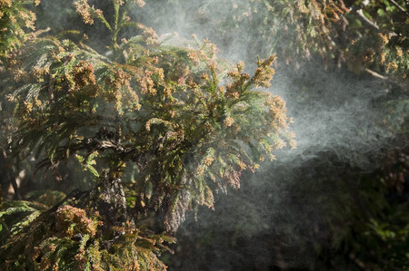 cedar: Cedar polen