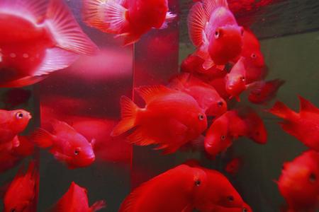 crimson colour: Crimson goldfish