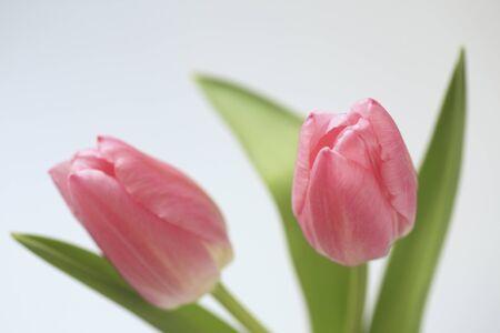 florid: Tulip