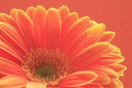 花ガーベラ