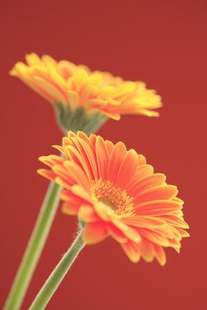 disperse: Flower Gerbera Stock Photo