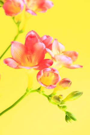 brilliant colors: Freesia flowers Stock Photo
