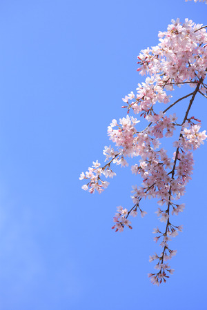 disperse: Cherry blossoms and a blue sky