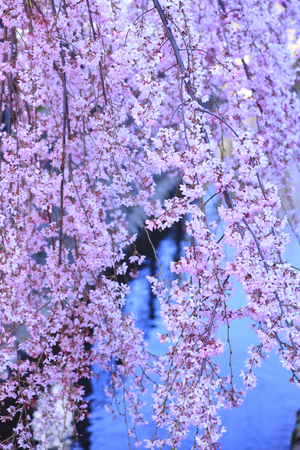 disperse: Weeping cherry tree