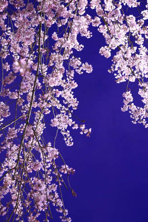 disperse: Weeping cherry Stock Photo