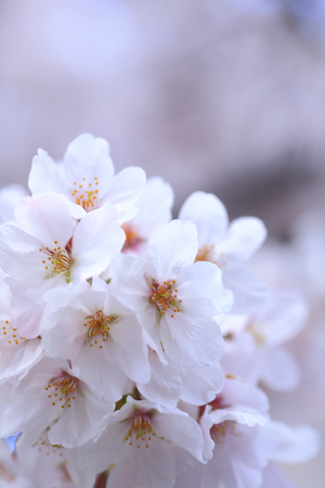 disperse: Cherry