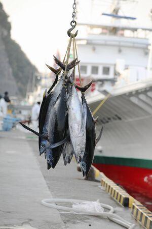 勝浦釣り港マグロの着陸 写真素材
