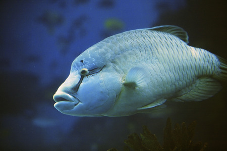 humphead: Napoleon fish