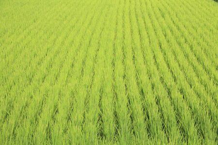 akita: Rice in Akita