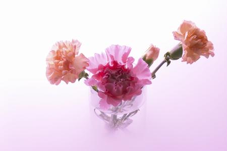 carnation: Clavel