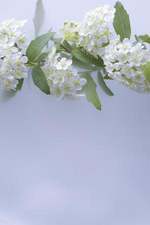 dried flower arrangement: Spiraea cantoniensis Lour.