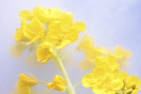 dried flower arrangement: Rape blossoms