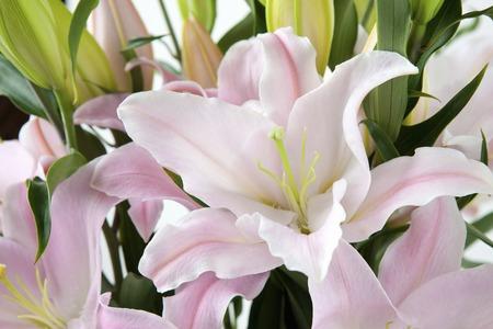lien: Oriental Lily Stock Photo