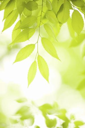 Fresh green leaves of zelkova trees leaf Stock Photo