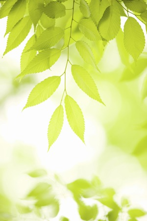 salubrious: Fresh green leaves of zelkova trees leaf Stock Photo