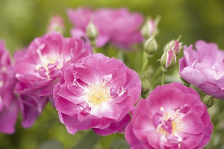 herald: Roses International Herald Tribune