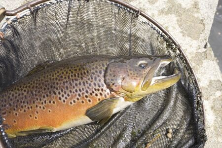 brown trout: Brown trout