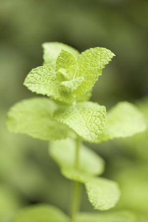 medicated: Apple Mint
