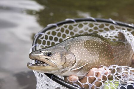 brook trout: and fished Jaguar trout Stock Photo