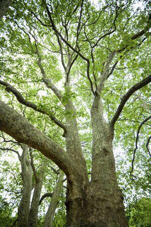 big tree: Sycamore of Ohki Stock Photo