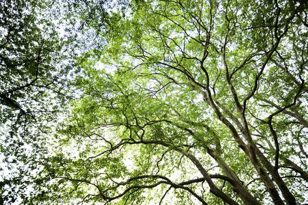sycamore: Fresh green sycamore