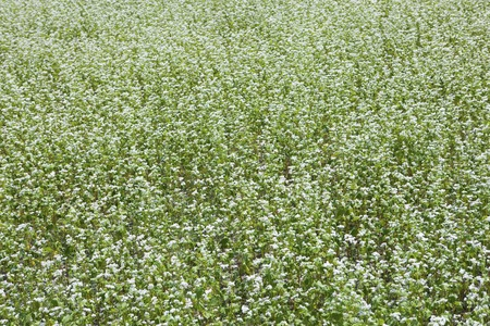 full bloom: Buckwheat field in full bloom