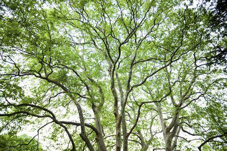 sicomoro: Fresco di sicomoro verde