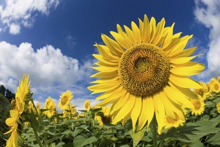 Summer sky and sunflower fields photo