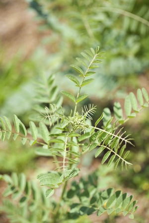 licorice: Herb Spain licorice