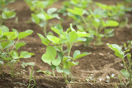 glycine: Soybean fields