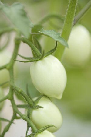 mini farm: Tomato field