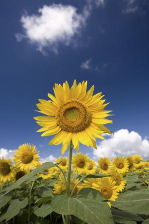 Summer sky and sunflower fields