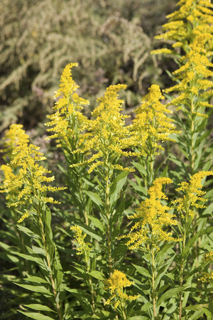 naturalized: Solidago altissima l.