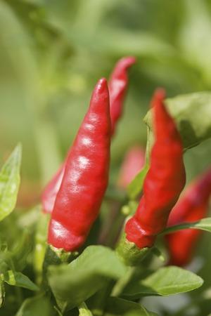 rawness: Chili pepper fields