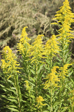 naturalized: Goldenrod flowers