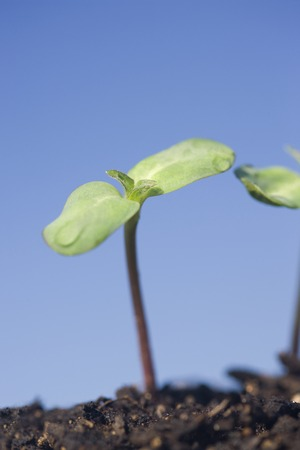 Sunflower sprouts photo