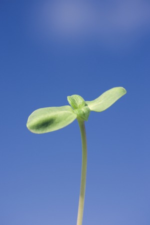 teaching material: Sunflower sprouts