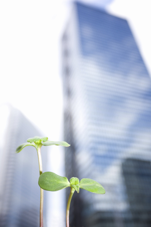 high rise buildings: High rise buildings and sunflower sprouts