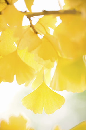 The yellow Ginkgo leaves