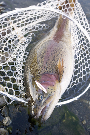 rainbow trout: Rainbow Trout fished