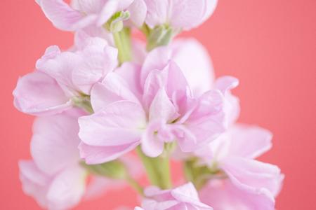 stock: Stock flower
