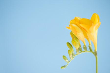 freesia: Freesia flowers Stock Photo