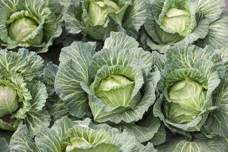 Cabbage field Stockfoto