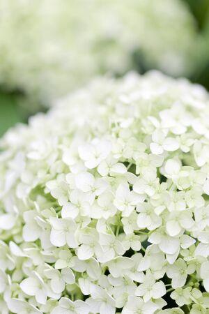 hakusan: Hydrangea flowers